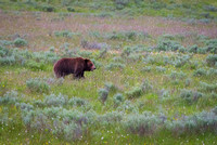 Grizzly Bear, Yellowstone National Park, WY